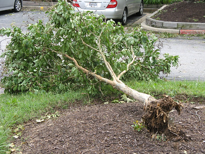 The landscaping company that we use for the common areas, like so many others, mulches too deeply, which damages the base of the tree. I think that's the reason the upper roots of this young crape myrtle were so weak that they broke right off when the wind pulled at it.  8-27-11