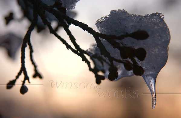 Icy twig at Pearl Buck's house - Dublin, PA