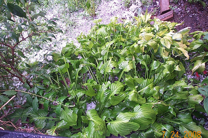 It destroyed most of my gardens---this Hosta was so lush and full before you couldn't see the ground even if you moved the top leaves. Now they are ripped to shreds.