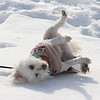 Features at frozen Long Lake in Littleton. Gretel, a bichon mix from Littleton, plays in the snow on the beach at Long Lake. (SUN/Julia Malakie)
