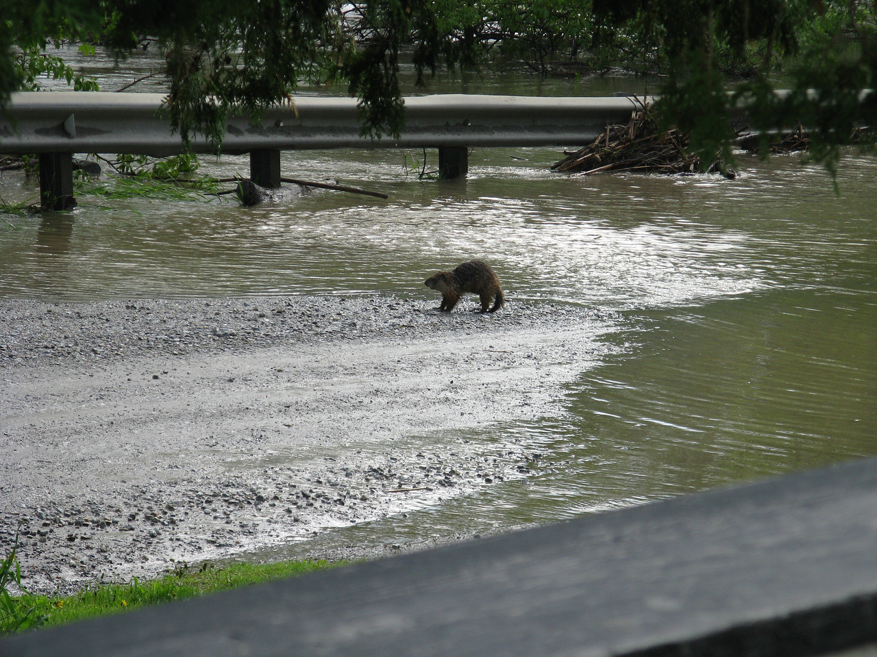 Woodchuck driven out by the flood, exhausted and looking for a place to rest. Not scared of us at all.