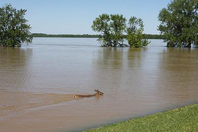Deer swimming up river along Harbor Town.