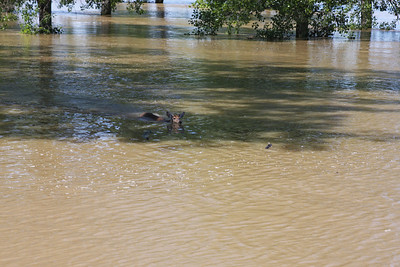 Deer swimming now up river.