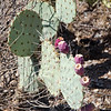 80  G Prickly Pear