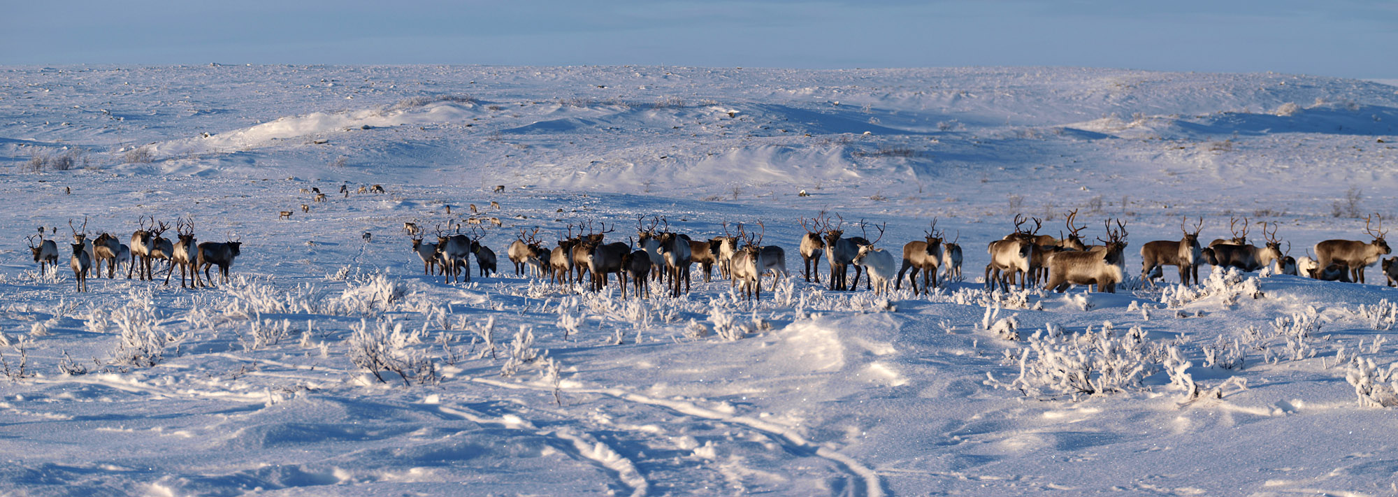 Wild reindeer wandering on the plateau. It was a wonderful sight to see.