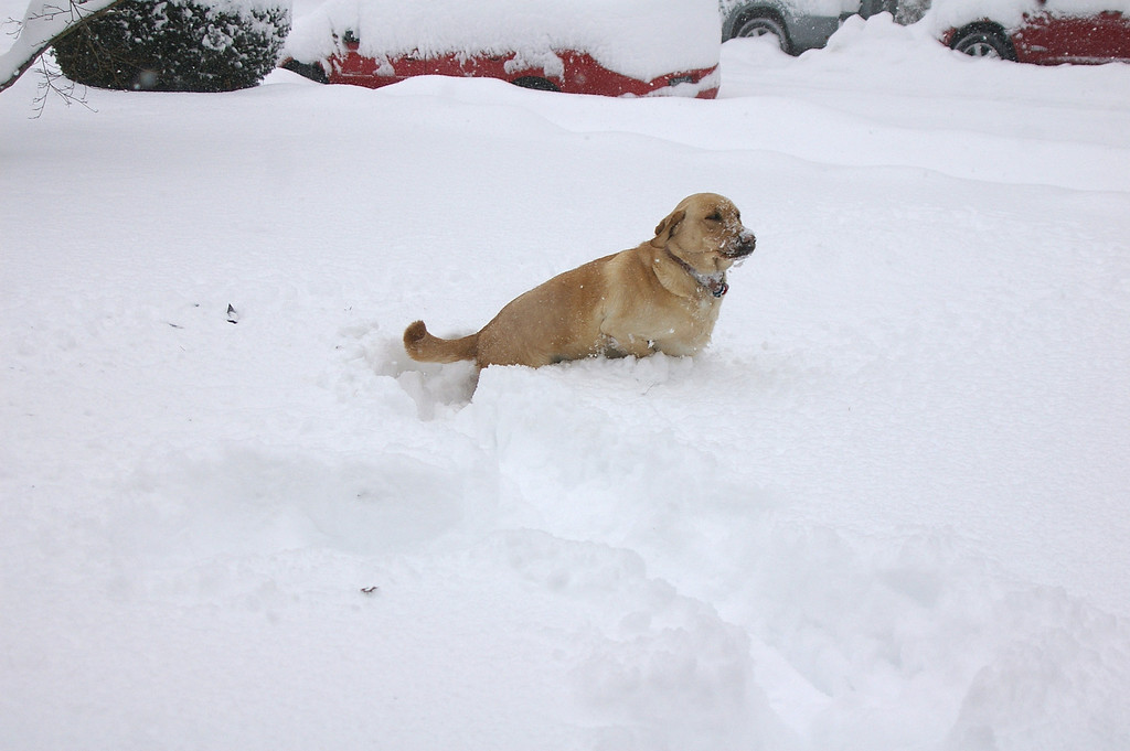 Tootsie prancing through the snow.