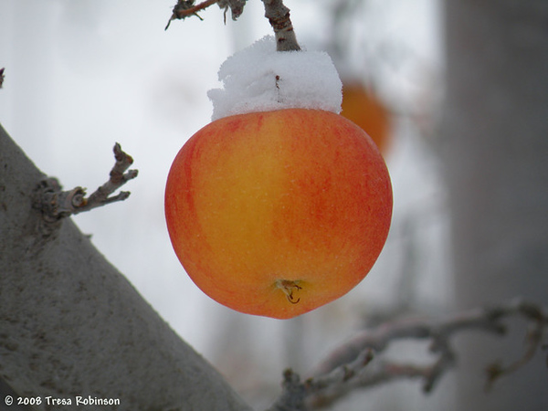 Wenatchee Snow Apple