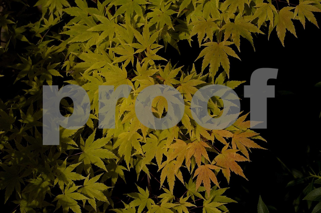 Maple leaves in fall.