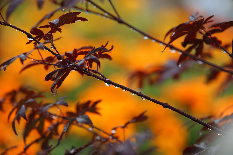 Raindrops on a Japanese maple against a backdrop of marigolds at  McCues Flower Outlet, after a heavy rain. SUN/Julia Malakie