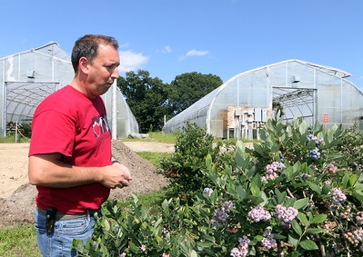 July 28, 2021 - Dave Dumaresq, owner of Farmer Dave's, eats a few blueberries at his Dracut farm. The recent heavy rains have been beneficial for the blueberries, as well as  reducing irrigation needs and filling the irrigation pond.  SUN/Julia Malakie