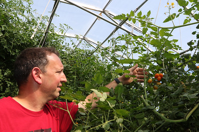 July 28, 2021 - Dave Dumaresq, owner of Farmer Dave's, with some cherry tomatoes in one of the greenhouses at his Dracut farm. The recent heavy rains have been beneficial, reducing irrigation needs and filling the irrigation pond.  SUN/Julia Malakie