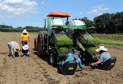 July 28, 2021 - Fennel planting at  Farmer Dave's, at his Dracut location. The recent heavy rains have been beneficial, reducing irrigation needs and filling the irrigation pond. The tractor has a creeper gear to go very slowly, and a drum that pokes holes in the ground. Celedonia Ramirez, left, and Emilia Morales, both of Lawrence, drop seedlings in the holes, and three more workers follow and cover them with soil. SUN/Julia Malakie