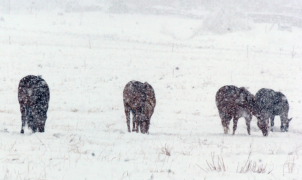 Horses graze in the pasture at 136th Ave. and Aspen St. during the winter storm on Wednesday<br /> <br /> October 28, 2009<br /> Staff photo/David R. Jennings