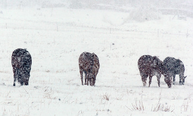Horses graze in the pasture at 136th Ave. and Aspen St. during the winter storm on Wednesday  October 28, 2009 Staff photo/David R. Jennings