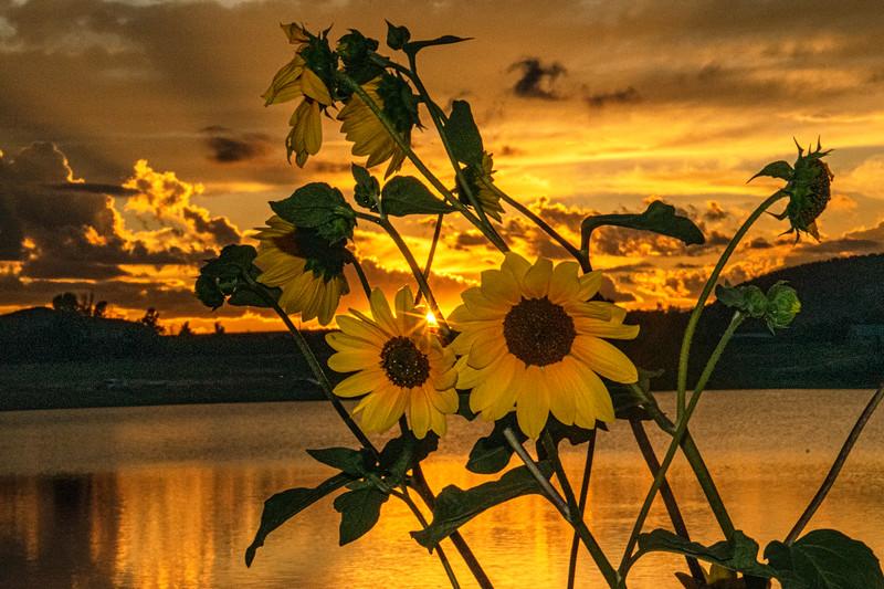 Sunflowers at Sundown L
