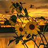 Sunflowers at Sundown L