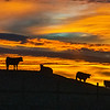 Cattle Sunset