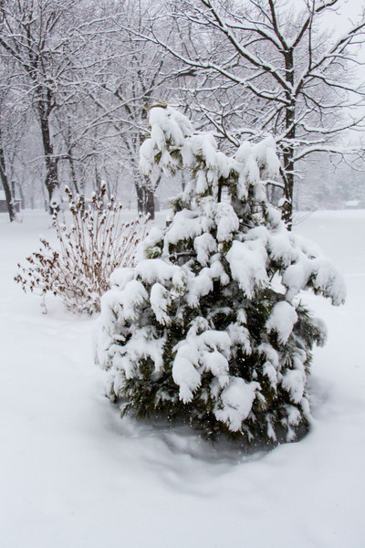 One of our neighbor's evergreens. I like the way the snow looks on the trees, etc. The snow is between 8 & 12 inches deep in our back yard.