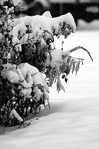 Snow and Shrub (107816148)