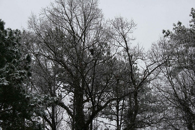 Snow in the trees.