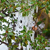 February 24, 2015<br /> <br /> Snow on the ground and a close up view of the icicles on a shrub in our backyard