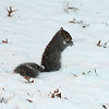 Squirrel in Lucy Larcom Park during first snow of the season in downtown Lowell. (SUN/Julia Malakie)