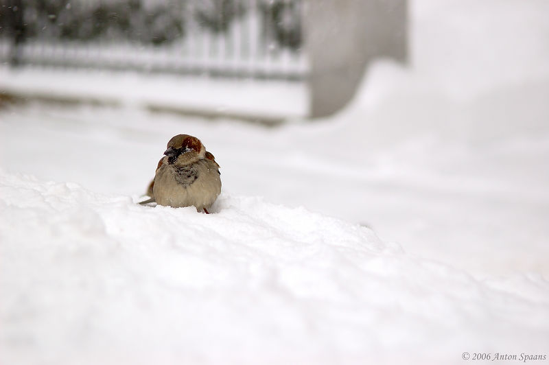 Cold Hungry Sparrow