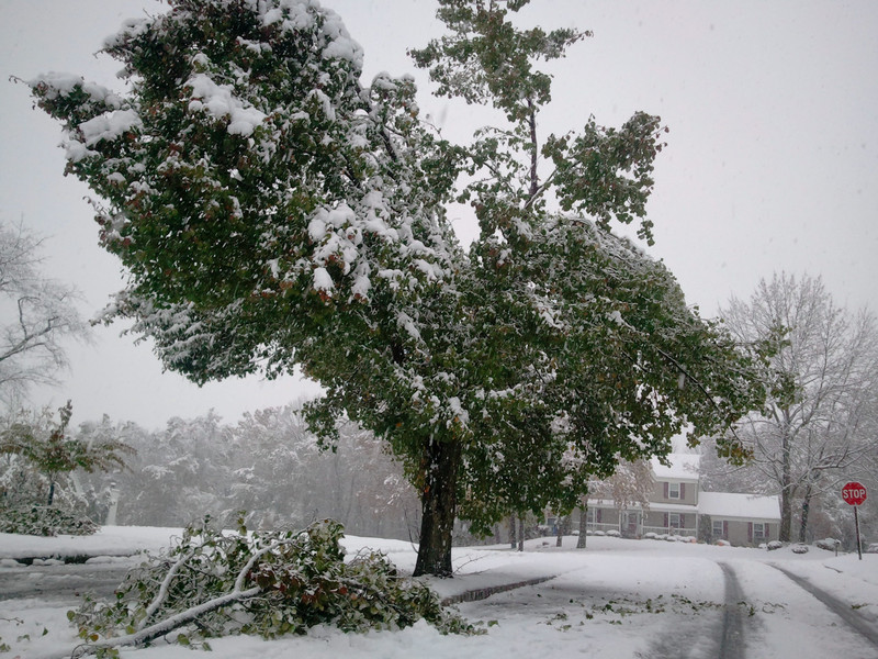 Heavy wet snow has brought down many branches on these Bartlett Pear trees in the neighborhood