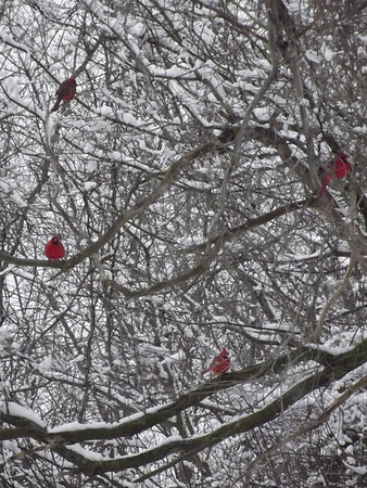 Four Cardinals in the Snow<br /> <br /> Photographer's Name: Michael Virgin<br /> Photographer's City and State: Anderson, IN