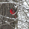Cardinal in the Spring Snow<br /> <br /> Photographer's Name: Michael Virgin<br /> Photographer's City and State: Anderson, IN