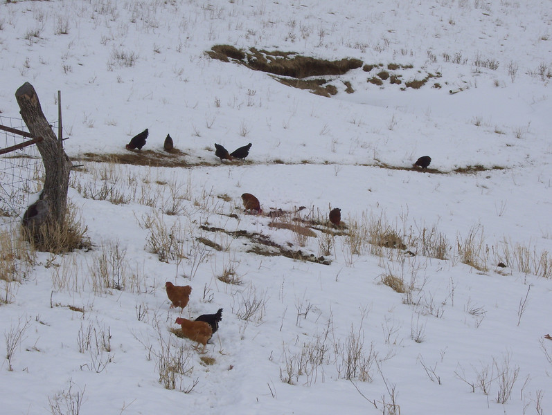 "Is this what they call ""snow birds""?<br /> Nah! They're just a bunch of chickens."