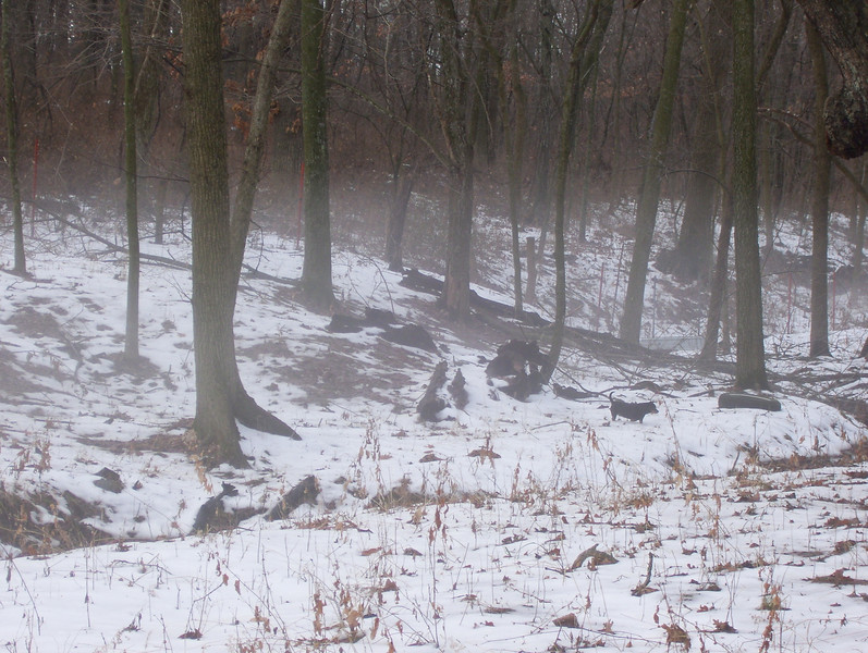 Ground Fog Messing with my Eyes<br /> Down in the timber where the snow is hanging on, the warm air is causing a fog to rise up 6 or 8 feet that messes with your eyes. It's clear above but you think your eyes are foggy as you look along the ground.