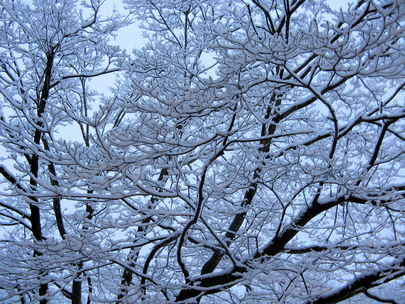 The dogwood looked lovely Friday evening with the branches lined with snow.<br /> <br /> 2-5-10