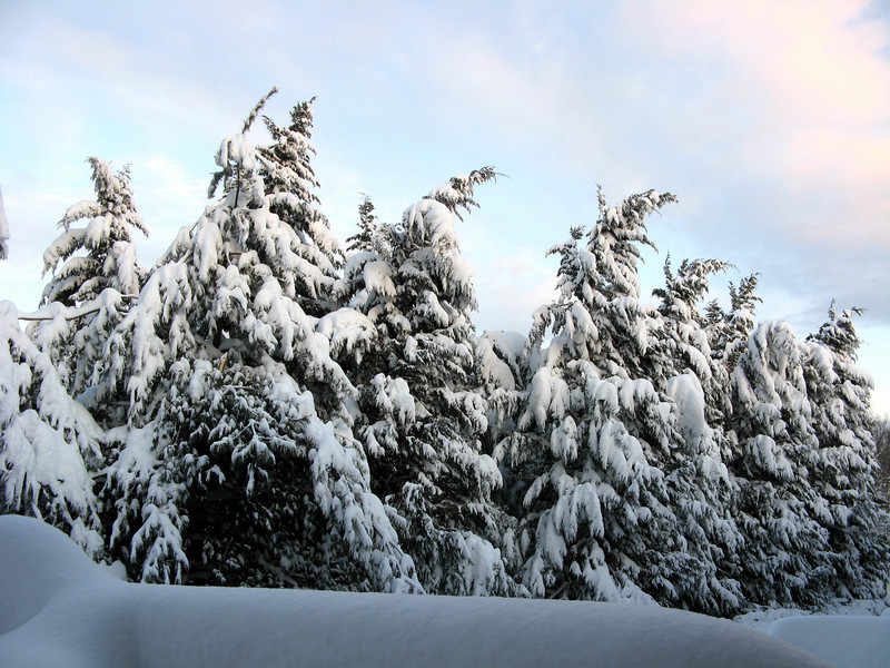 The evergreen trees behind the house, laden with snow under the clearing sky.<br /> <br /> 2-6-10