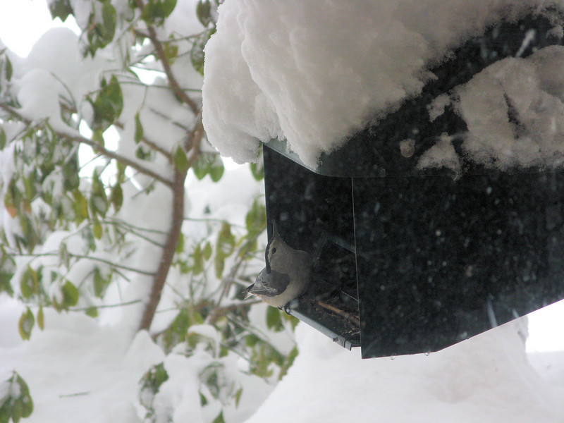 I made sure the feeders were accessible, and a White-breasted Nuthatch came to eat.<br /> <br /> 2-6-10