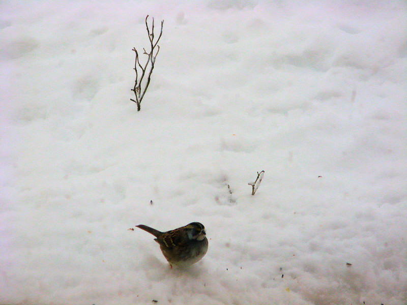 White-throated Sparrow eating seeds.<br /> <br /> 2-6-10