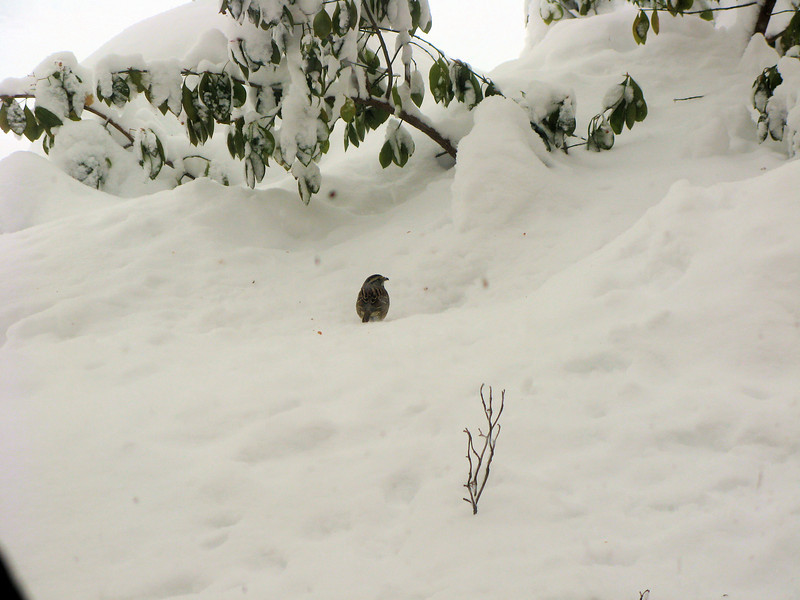 There's no way the ground-feeding birds could find food under three feet of snow, so I scattered seeds on top of the snow for them. A White-throated Sparrow is getting dinner.<br /> <br /> 2-6-10