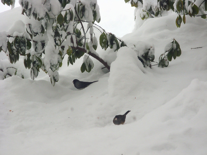 Dark-eyed Juncos eating the seeds I tossed on the snow.<br /> <br /> 2-6-10
