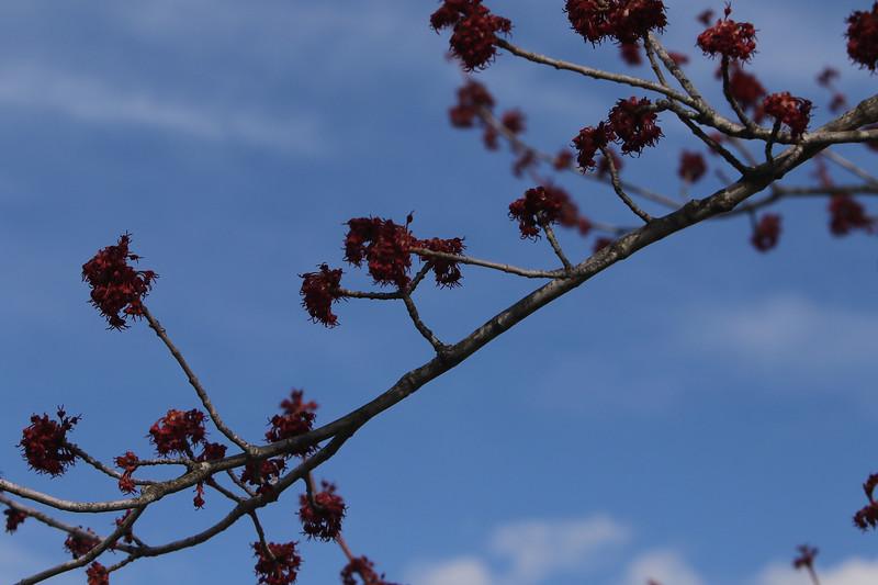 Red maples flowering at Veterans Memorial Park in Dracut.  JULIA MALAKIE/LOWELLSUN