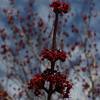 Red maples flowering at Veterans Memorial Park in Dracut.  JULIA MALAKIE/LOWELLSUN