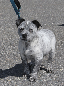 Spring weather features in Leominster. Sarah Marro's 14-week-old Lab/blue heeler puppy, Scout, out for a walk. Scout was a rescue dog, adopted from Texas. JULIA MALAKIE/LOWELLSUN