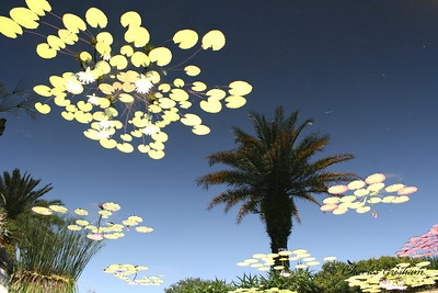 Lilly Pads on water with a reflection of a Palm Tree at the Jacksonville Zoo.  This photo has been flipped upside down.