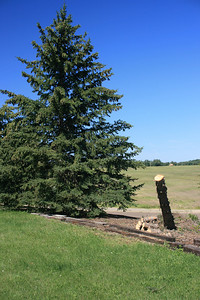 From this angle the tree looks ok, but from a different direction you can see it's leaning enough the roots are broken.