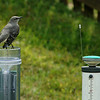 Mockingbird & CoCoRaHS  -- Now, If I could just reach that flush lever...<br /> <br /> (CoCoRaHS volunteers will understand the caption... !)