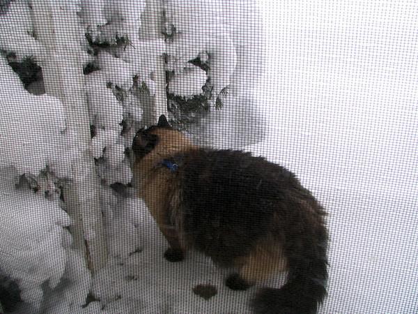 Scrunch investigating the frozen Juniper bush.