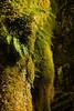 Ferns on the trunk of an Alder