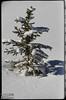 Snow, Tree,