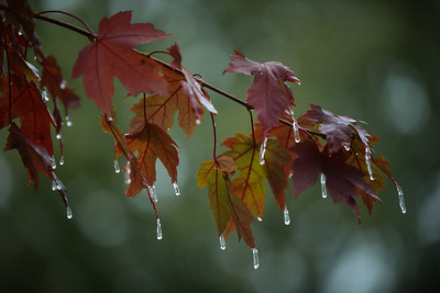 Water drops freeze on the tips of a silverleaf maple in Lee's Summit during a 32-degree afternoon on Oct. 27, 2020. Carlos Moreno photo
