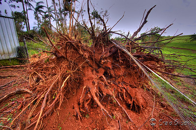 Most of the trees where pulled from the ground.