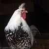 chicken_89A8208-Edit2